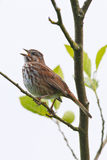 Singing song sparrow. Song sparrow gripping tree limb while singing royalty free stock images