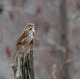 Singing Song Sparrow. A Song Sparrow (Melospiza melodia) singing from a dead tree Royalty Free Stock Images