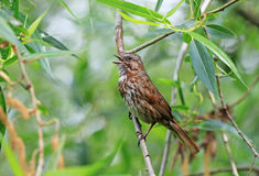 Singing song sparrow perched on a branch, Canada Stock Images