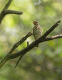Singing Song Thrush Stock Photo