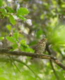 Singing Song Thrush. In the silence of a dense european riverine forest, a Song Thrush (Turdus philomelos) sings it's rich melodies Royalty Free Stock Photo
