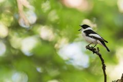 Singing songbird on a twig in a bright forest Stock Photography