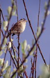 Singing sparrow. Telephoto image of a white crowned sparrow singing on a sunny day Stock Photo
