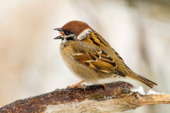 Singing Sparrow Stock Photos