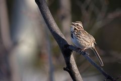 Singing sparrow. A male song sparrow singing to establish it`s breeding territory in early spring Royalty Free Stock Photo