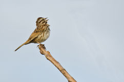 Singing Sparrow. Perched on the end of a Branch royalty free stock photos