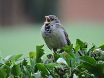 Singing sparrow Royalty Free Stock Image