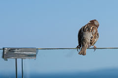 Singing sparrow Stock Image