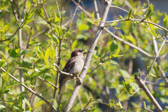 Singing sparrow in spring. Singing sparrow on bush branches in spring Stock Image