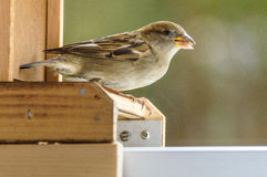 Singing sparrow on a wooden edge. A singing sparrow sitting on a wooden edge royalty free stock photo