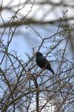 Singing Starling Stock Photos