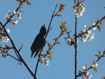 Singing Starling. Starling, bird-song amongst the spring blossom Royalty Free Stock Images