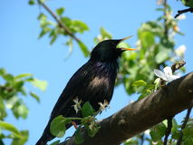 A singing starling Stock Photos