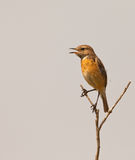 A singing Stonechat. A Stonechat (Saxicola rubicola) defends it´s territory perching on a prominent branch and singing with all it´s strength to challenge any Royalty Free Stock Photography