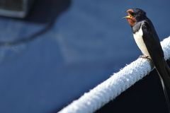 Singing swallow. On a rope Royalty Free Stock Photos