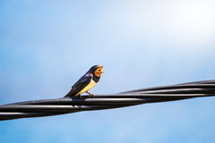 Singing swallow on a telephone line. In southern Europe Royalty Free Stock Image