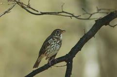 Singing thrush. Springtime park Stock Images