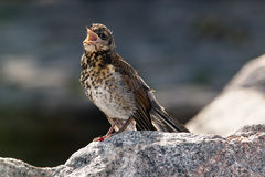 Singing thrush Royalty Free Stock Photos