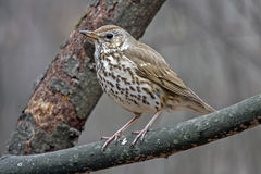 Singing thrush in the spring. Song thrush Turdus philomelos sitting on the branch Stock Image