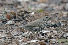 Singing thrush in the spring. Song thrush Turdus philomelos sitting on the ground Stock Image