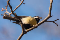 Singing tit Royalty Free Stock Images