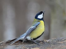 Singing tomtit portrait Royalty Free Stock Photo
