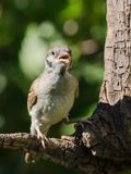 Singing tree sparrow. Sitting on a branch royalty free stock photography