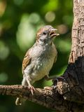Singing tree sparrow. Sitting on a branch looking to the side royalty free stock photos