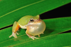 Singing Treefrog Royalty Free Stock Image