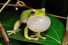 Singing Treefrog Royalty Free Stock Photos