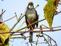 White Throated Sparrow (Zonotrichia albicollis) Singing. White Throated Sparrow on a tree singing Royalty Free Stock Photo