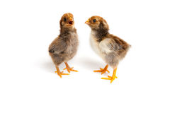 Singing two little cute chicks in front of white background. Sin. Two cute chickens isolated on a white background Royalty Free Stock Photo