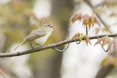 Singing Warbling Vireo Stock Photo