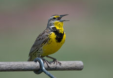 Singing Western Meadowlark Stock Image