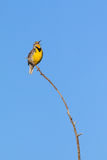 Singing Western Meadowlark Stock Images