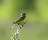 Singing Western Yellow Wagtail. On flower branch Stock Photos