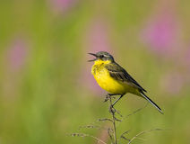 Singing Western Yellow Wagtail Royalty Free Stock Image