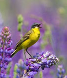 Singing Western Yellow Wagtail. On lupine flower royalty free stock photos
