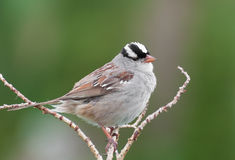 Singing White Crowned Sparrow Stock Images