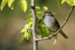 Singing White Crowned Sparrow royalty free stock photography