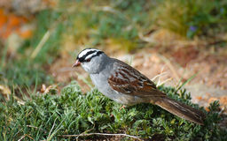 Singing White Crowned Sparrow. I saw this beautiful White Crowned Sparrow while hiking on Bierdstadt Stock Photos