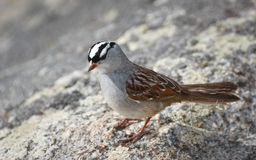 Singing White Crowned Sparrow Royalty Free Stock Photos