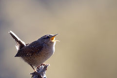 Singing Winter Wren (Troglodytes troglodytes). Also known as the Northern Wren. It is a very small bird, the only one of nearly sixty species in the family that Stock Image