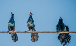 Singing on a Wire Royalty Free Stock Photography