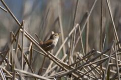 Singing wren Royalty Free Stock Photography