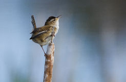 Singing Wren Royalty Free Stock Photo