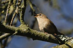 A singing Wren, Troglodytes troglodytes, perched on a branch high in a tree. royalty free stock photo