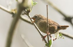 A pretty singing Wren, Troglodytes troglodytes, perched on a branch in a tree. A singing Wren, Troglodytes troglodytes, perched on a branch in a tree stock image
