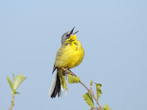 Singing Yellow Wagtail. Male of Yellow Wagtail sings attracting attention of his bride Stock Photo
