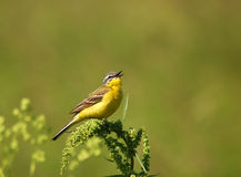 Singing Yellow Wagtail. Singing bird sitting on a branch Royalty Free Stock Photography